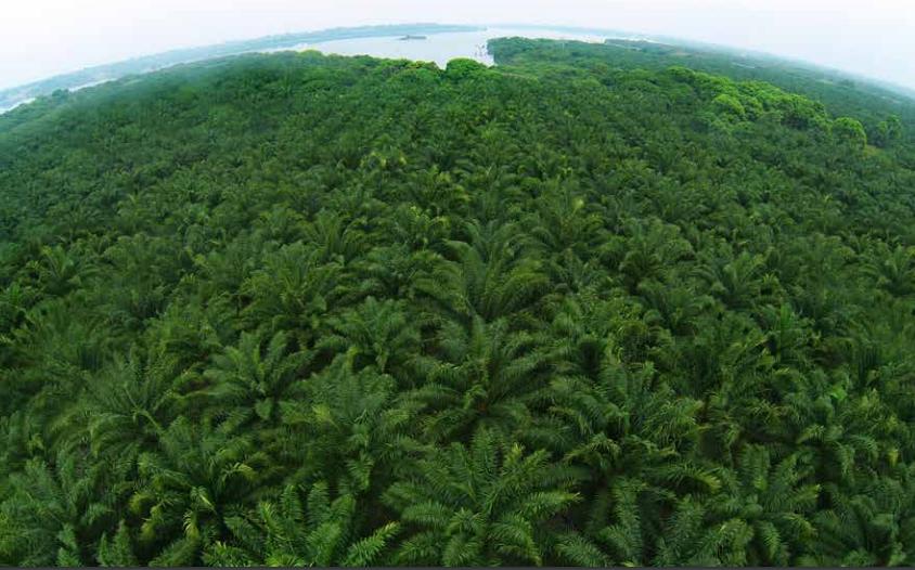 Mar de Fueguitos: la  palma  africana  y  su  aceite  tumban  selvas