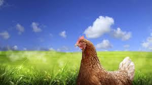 Suelta la olla: Las  gallinas  y  la  libertad