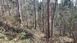 Suelta la olla: La expansión del eucalipto y sus perjuicios al ecosistema
